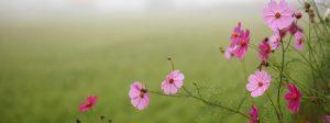 Bild: Cosmeen auf einem nebligen Feld